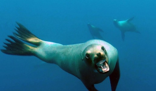 Caught On Camera – Curious Sea Lion Rushes Diver's Camera