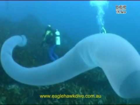 Giant Pyrosome and Salps – Pelagic Sea Squirts
