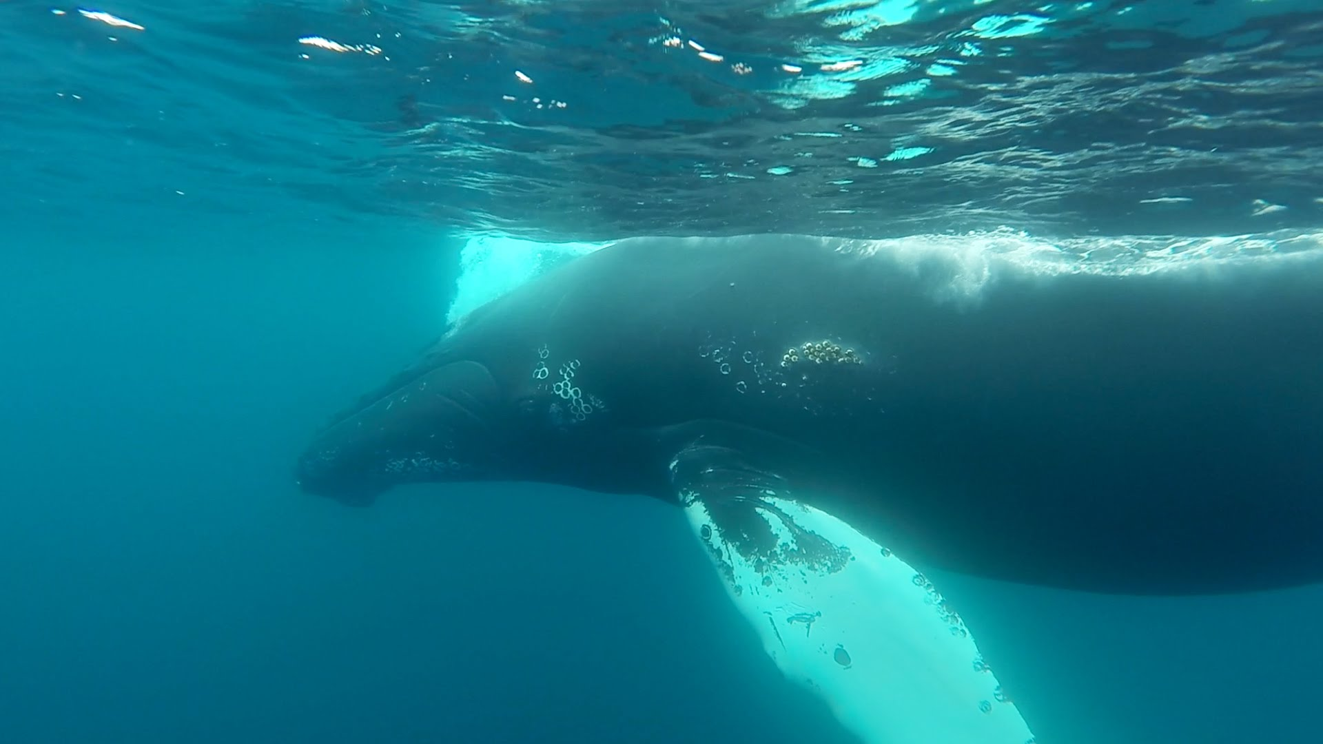 Snorkeling With Humpback Whales by Go Pro