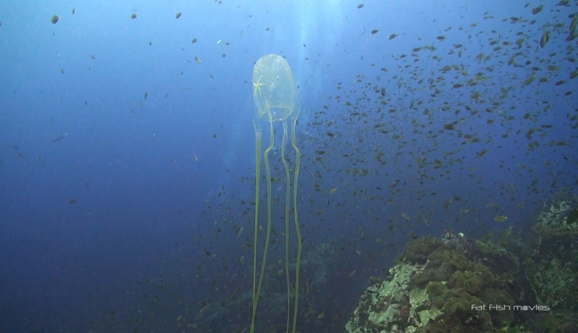 8 Box Jellyfish at Chumphon Pinnacle