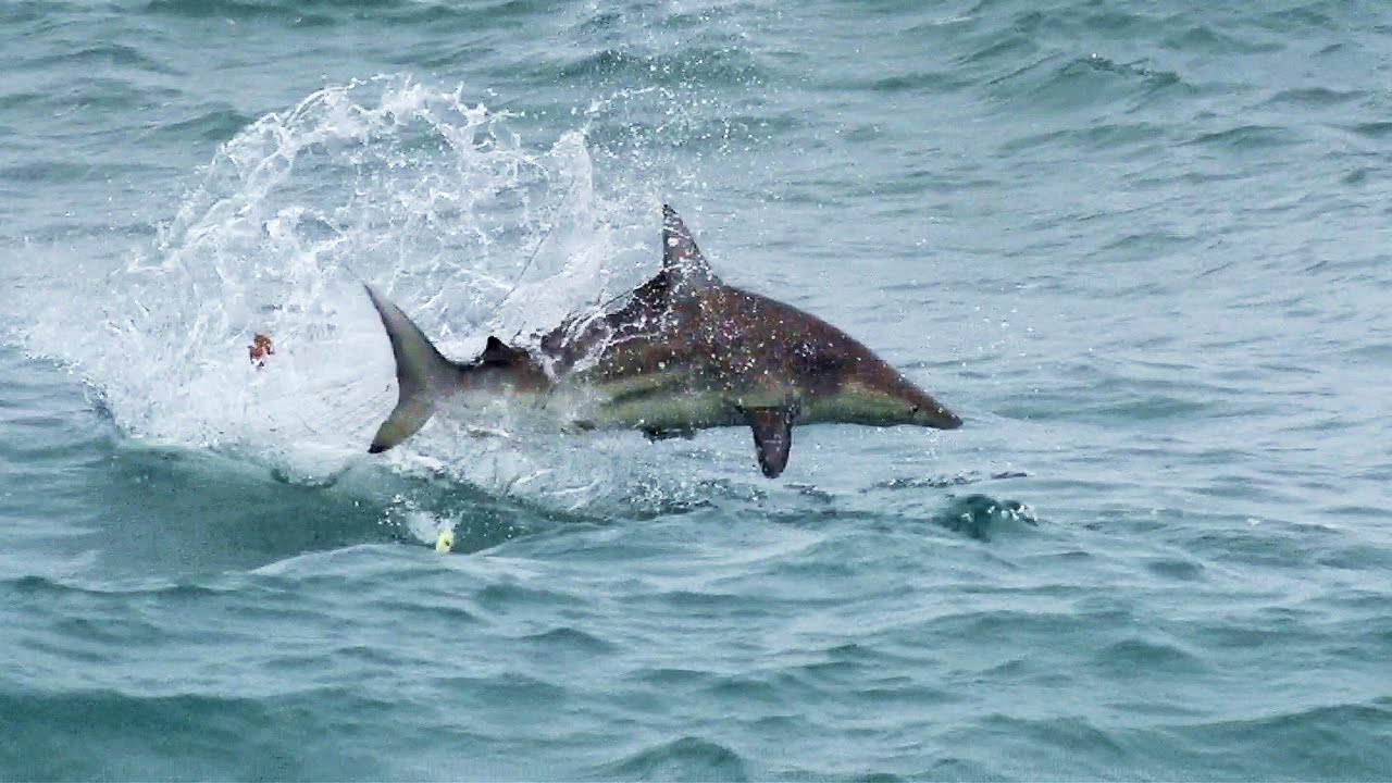 Blacktip Sharks Attacking Topwater Lures