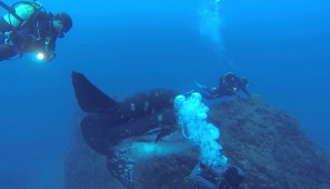 Diving With Enormous Sunfish In The Coast Of Portugal