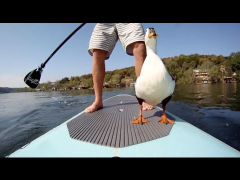Paddle Surf With A Duck