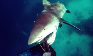 Shark Attack – Bullshark Attacks Spearfisherman